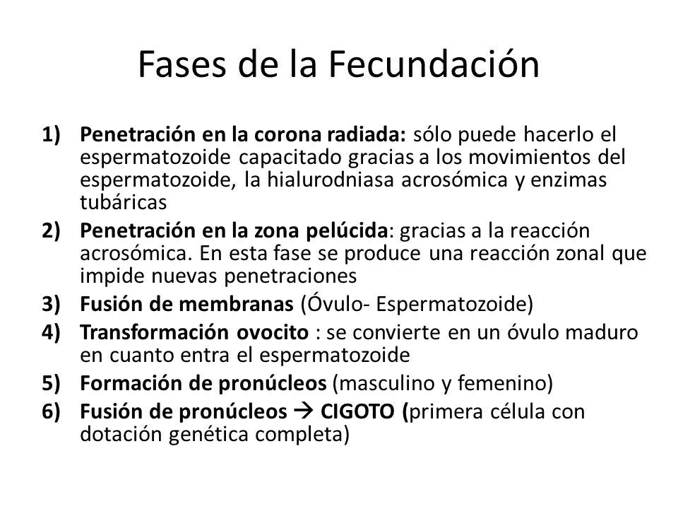 Fases de la Fecundación