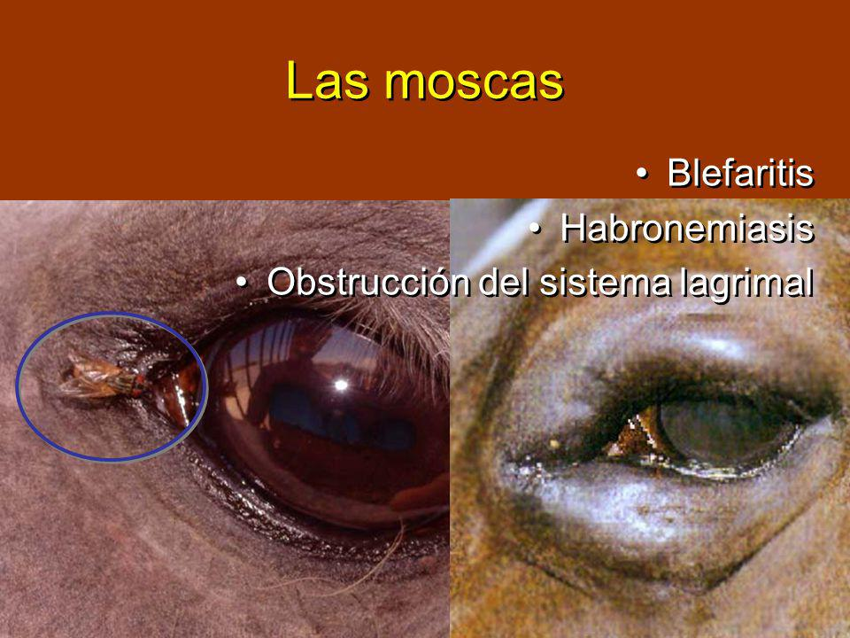 Las moscas Blefaritis Habronemiasis Obstrucción del sistema lagrimal