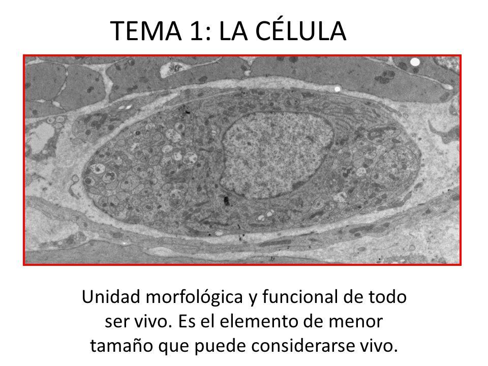 TEMA 1: LA CÉLULA Unidad morfológica y funcional de todo ser vivo.