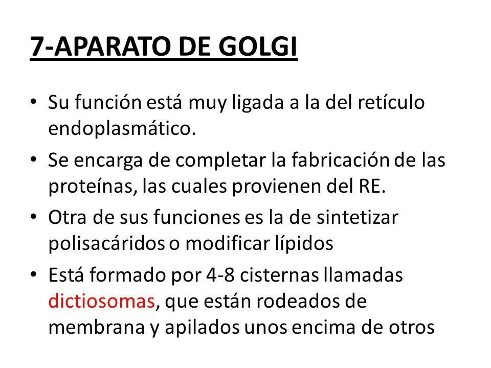 7-APARATO DE GOLGI Su función está muy ligada a la del retículo endoplasmático.
