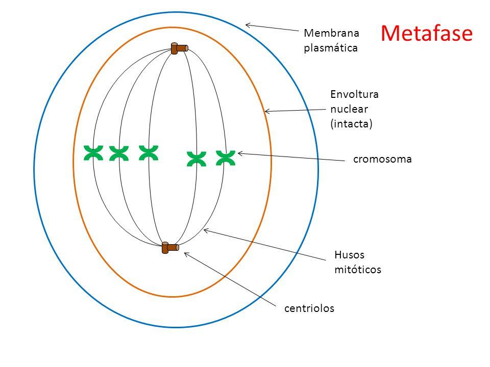 Metafase Membrana plasmática Envoltura nuclear (intacta) cromosoma