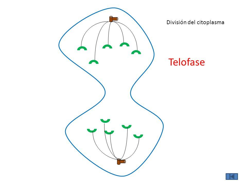 División del citoplasma