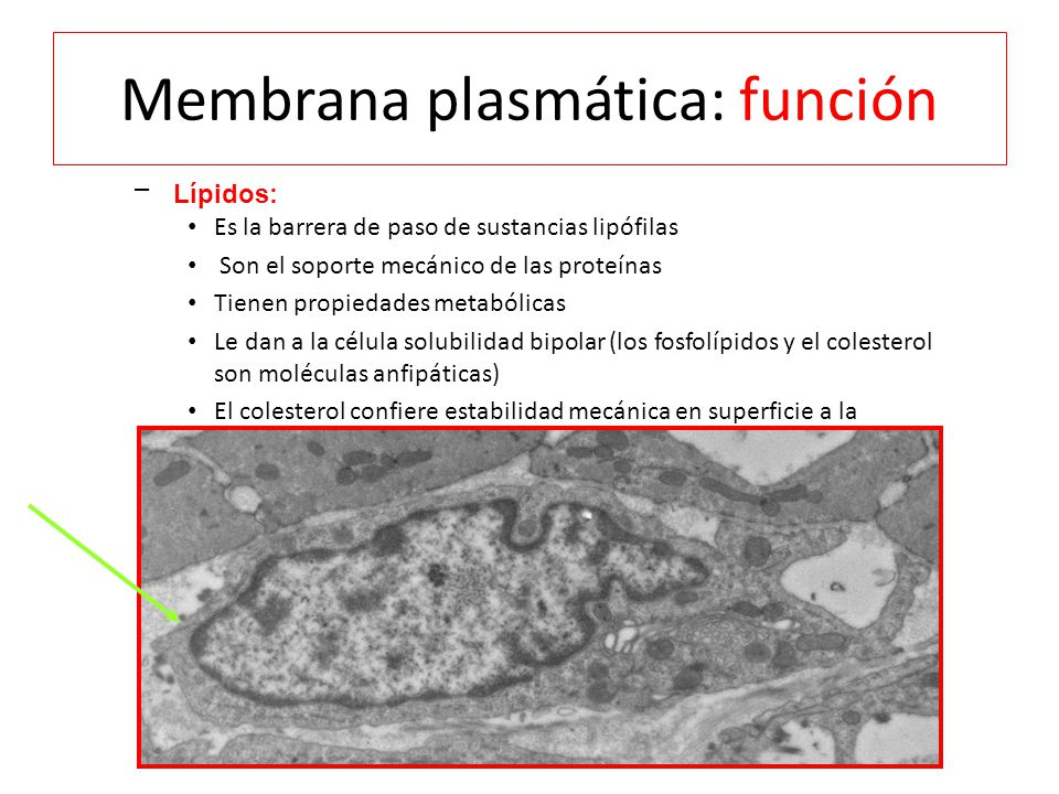 Membrana plasmática: función