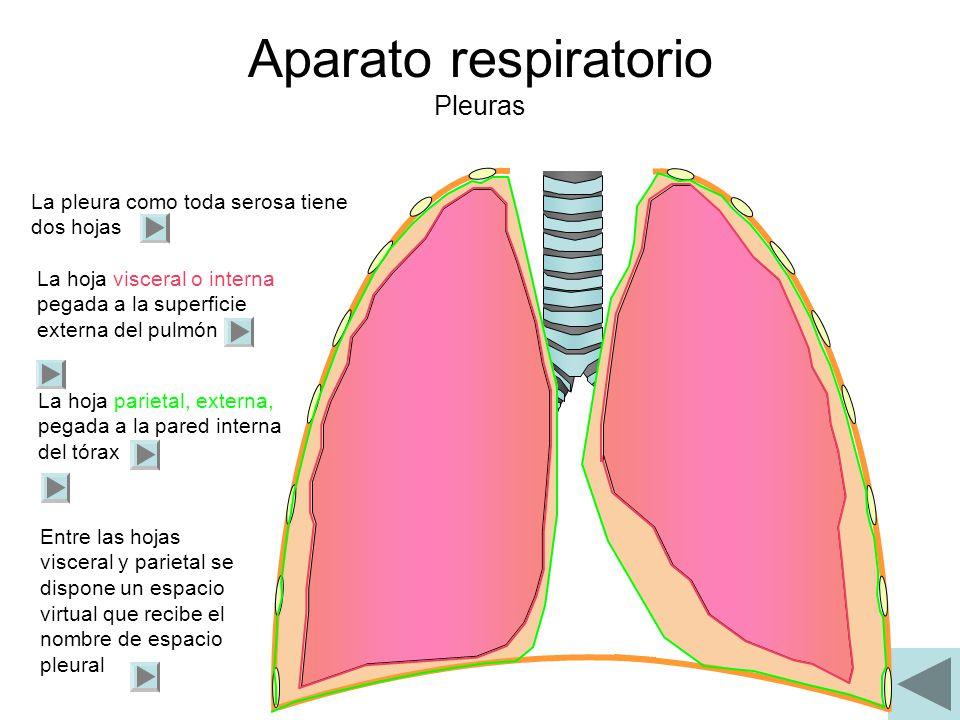 Aparato respiratorio Pleuras