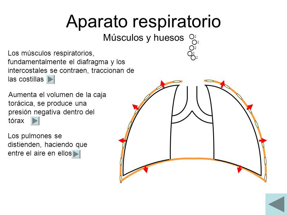 Aparato respiratorio Músculos y huesos