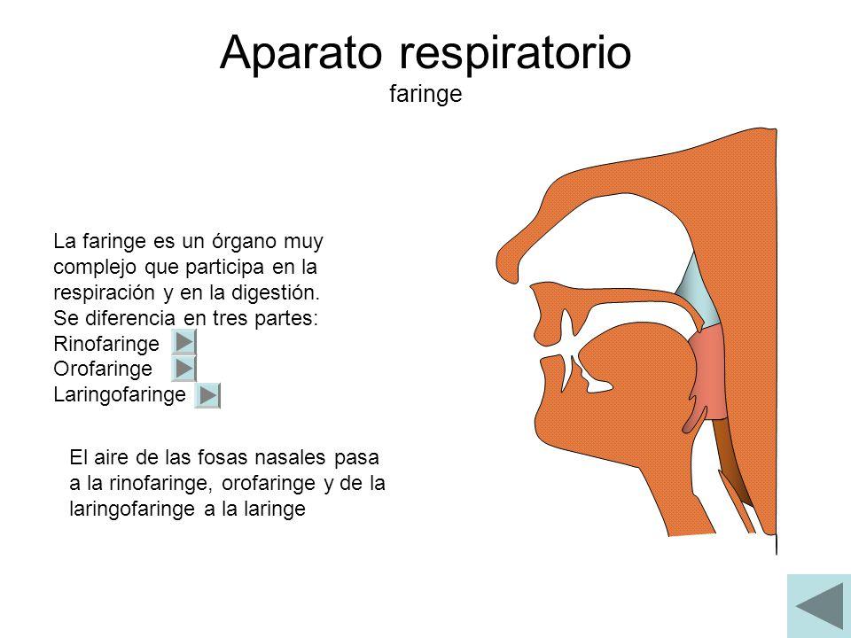 Aparato respiratorio faringe