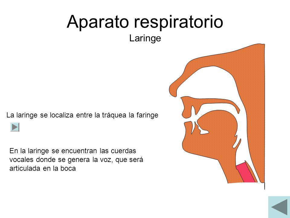 Aparato respiratorio Laringe