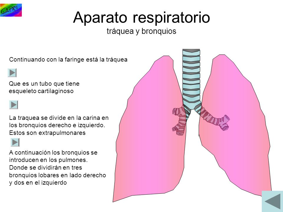 Aparato respiratorio tráquea y bronquios
