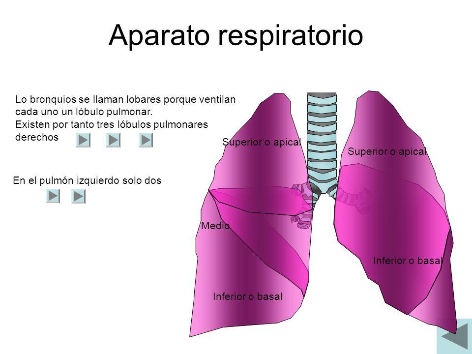 Aparato respiratorio Lo bronquios se llaman lobares porque ventilan cada uno un lóbulo pulmonar. Existen por tanto tres lóbulos pulmonares derechos.