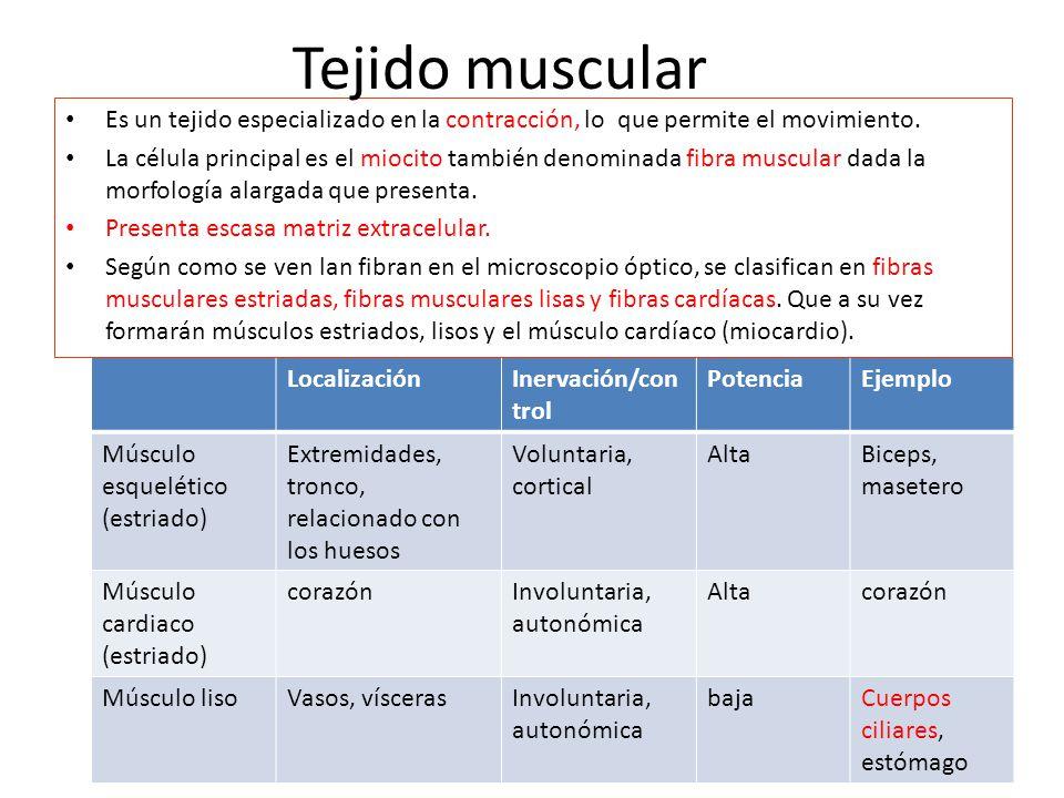 Tejido muscular Es un tejido especializado en la contracción, lo que permite el movimiento.
