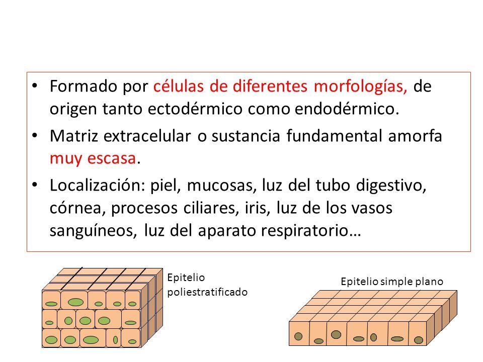 Matriz extracelular o sustancia fundamental amorfa muy escasa.