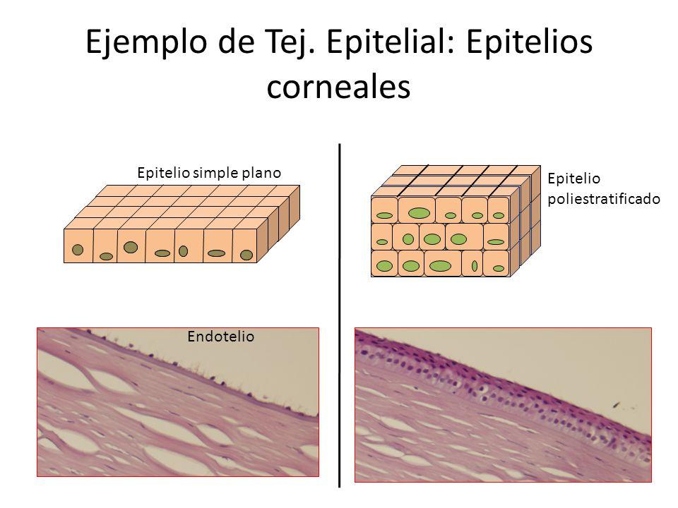 Ejemplo de Tej. Epitelial: Epitelios corneales