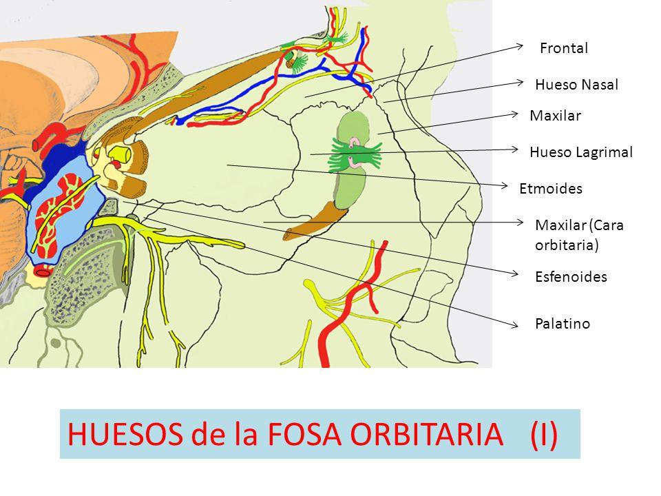 HUESOS de la FOSA ORBITARIA (I)