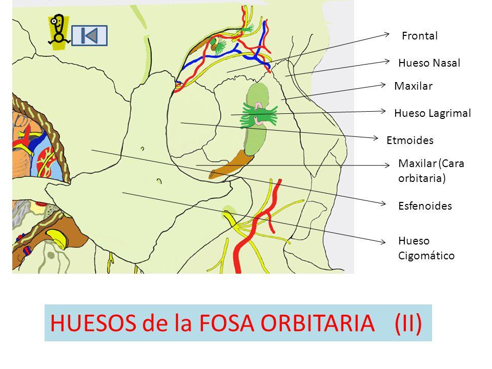 HUESOS de la FOSA ORBITARIA (II)