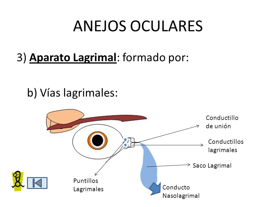 ANEJOS OCULARES 3) Aparato Lagrimal: formado por: b) Vías lagrimales: