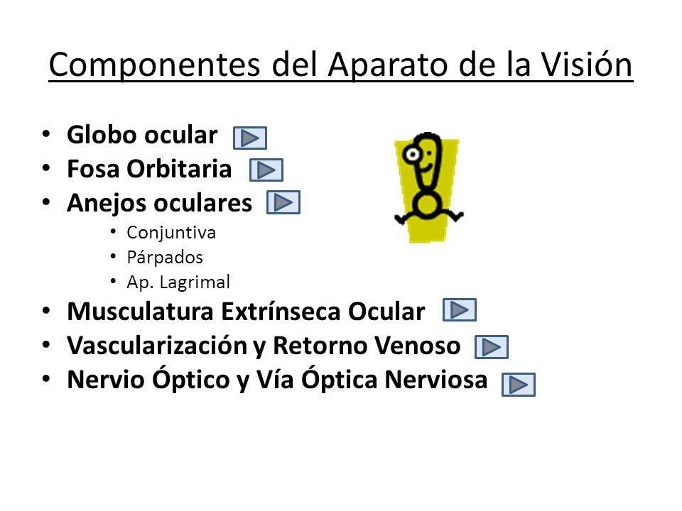 Componentes del Aparato de la Visión