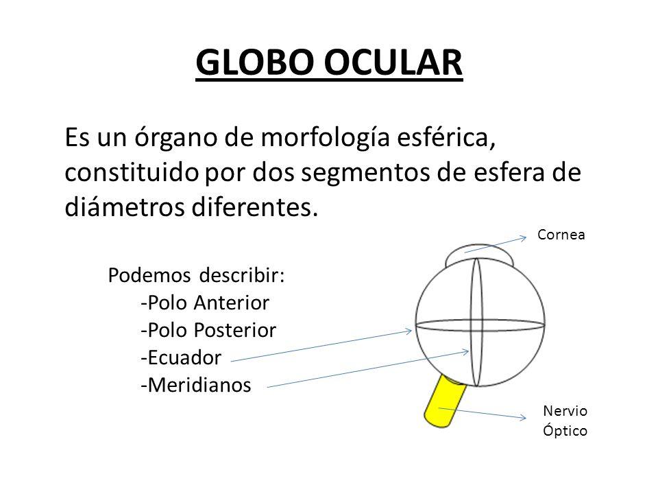 GLOBO OCULAR Es un órgano de morfología esférica, constituido por dos segmentos de esfera de diámetros diferentes.