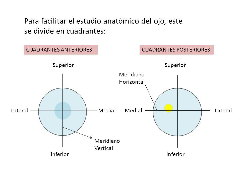 Para facilitar el estudio anatómico del ojo, este se divide en cuadrantes: