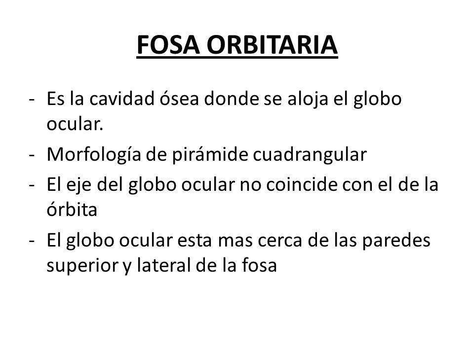 FOSA ORBITARIA Es la cavidad ósea donde se aloja el globo ocular.