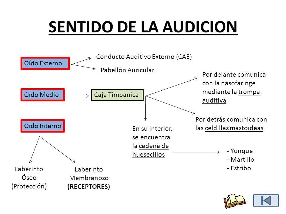 SENTIDO DE LA AUDICION Conducto Auditivo Externo (CAE) Oído Externo