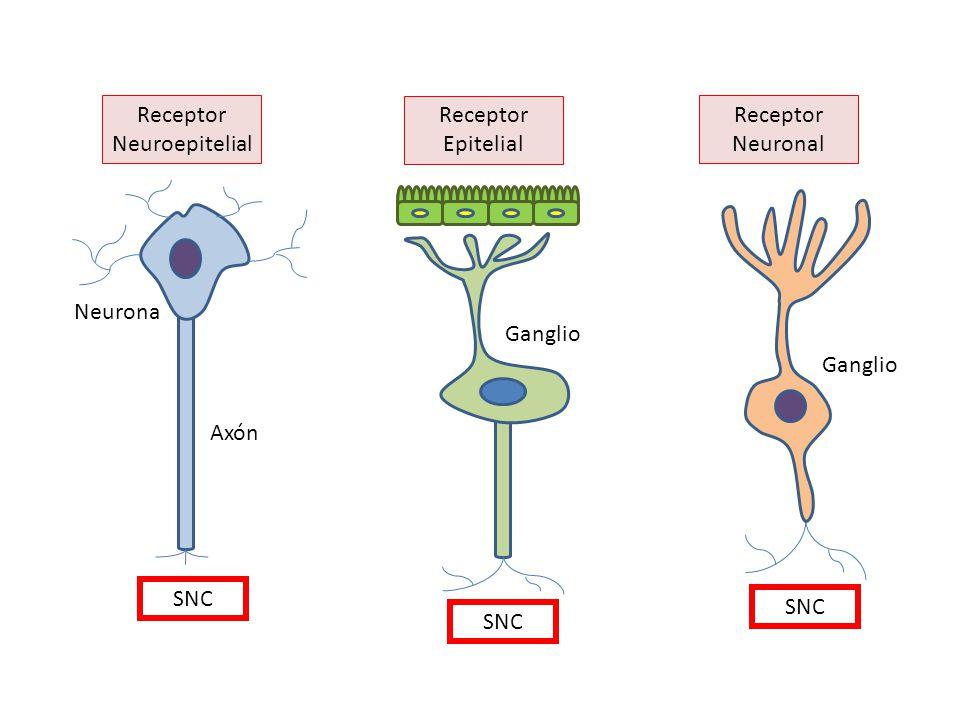 Receptor Neuroepitelial