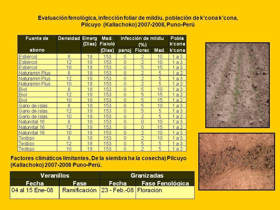 Evaluación fenológica, infección foliar de mildiu, población de k'cona k'cona, Pilcuyo (Kallachoko) 2007-2008, Puno-Perú