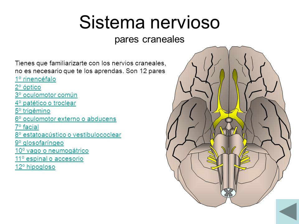 Sistema nervioso pares craneales