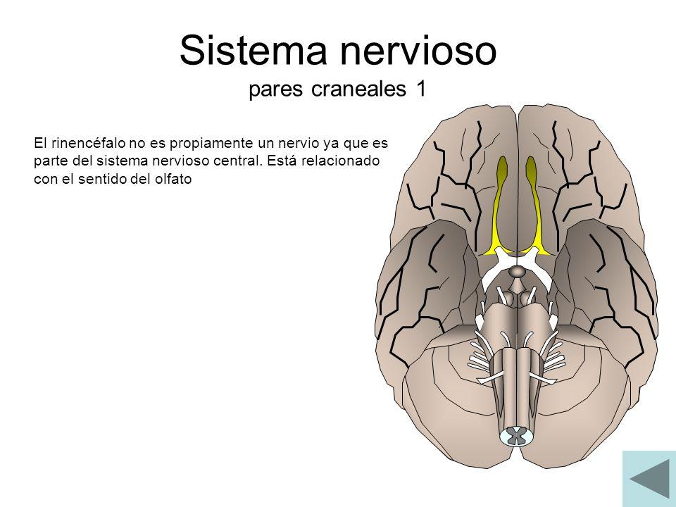 Sistema nervioso pares craneales 1