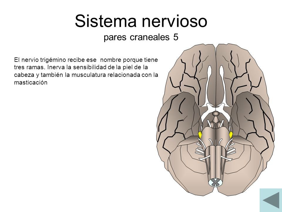 Sistema nervioso pares craneales 5