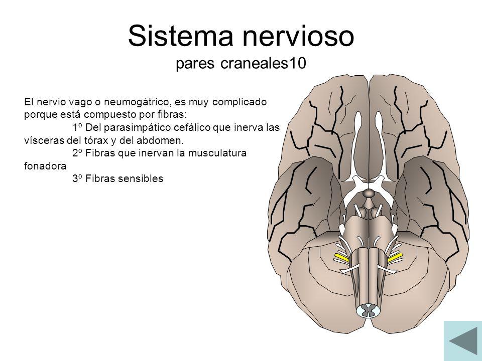 Sistema nervioso pares craneales10