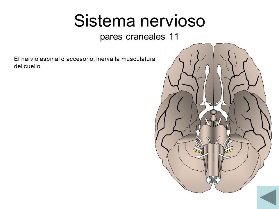 Sistema nervioso pares craneales 11