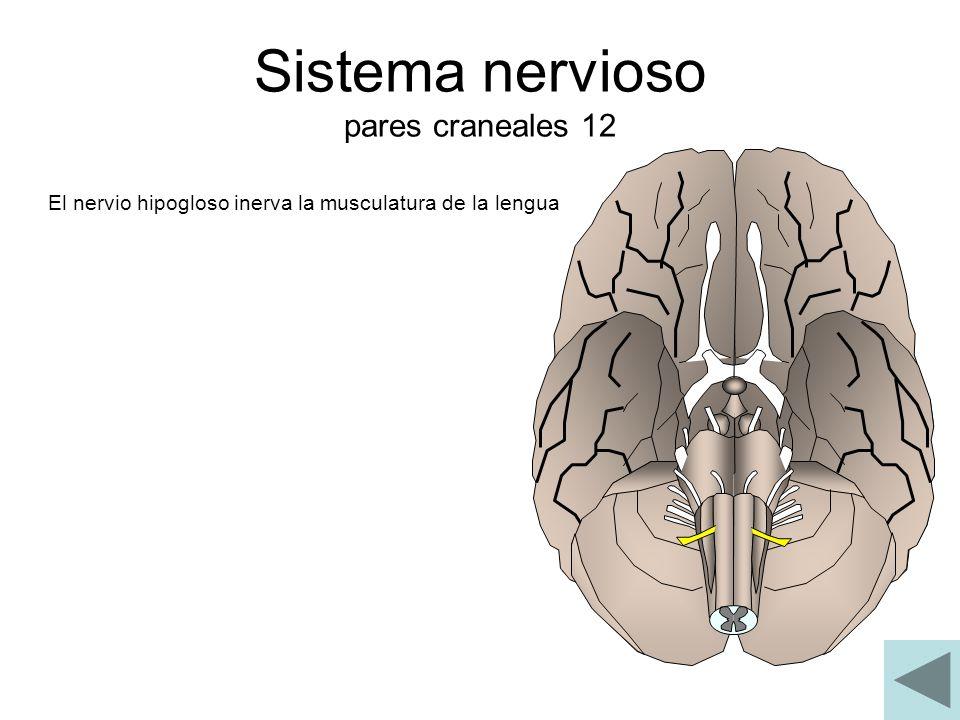 Sistema nervioso pares craneales 12