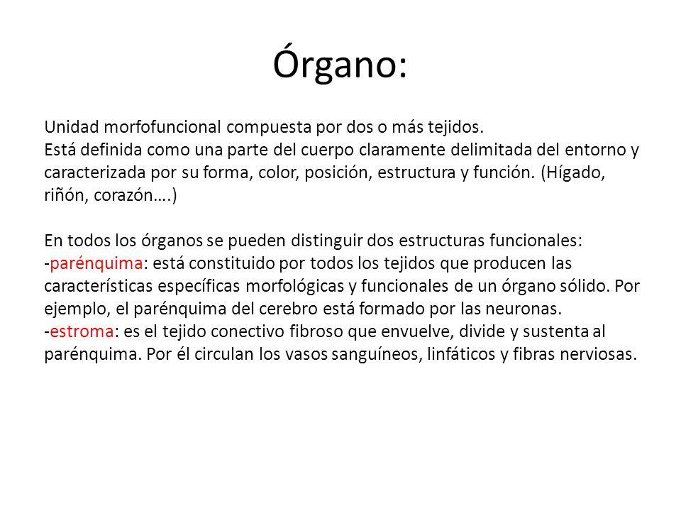 Órgano: Unidad morfofuncional compuesta por dos o más tejidos.