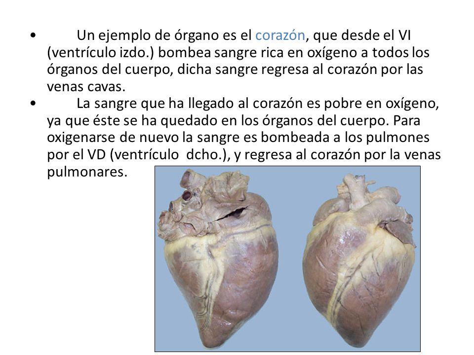 Un ejemplo de órgano es el corazón, que desde el VI (ventrículo izdo