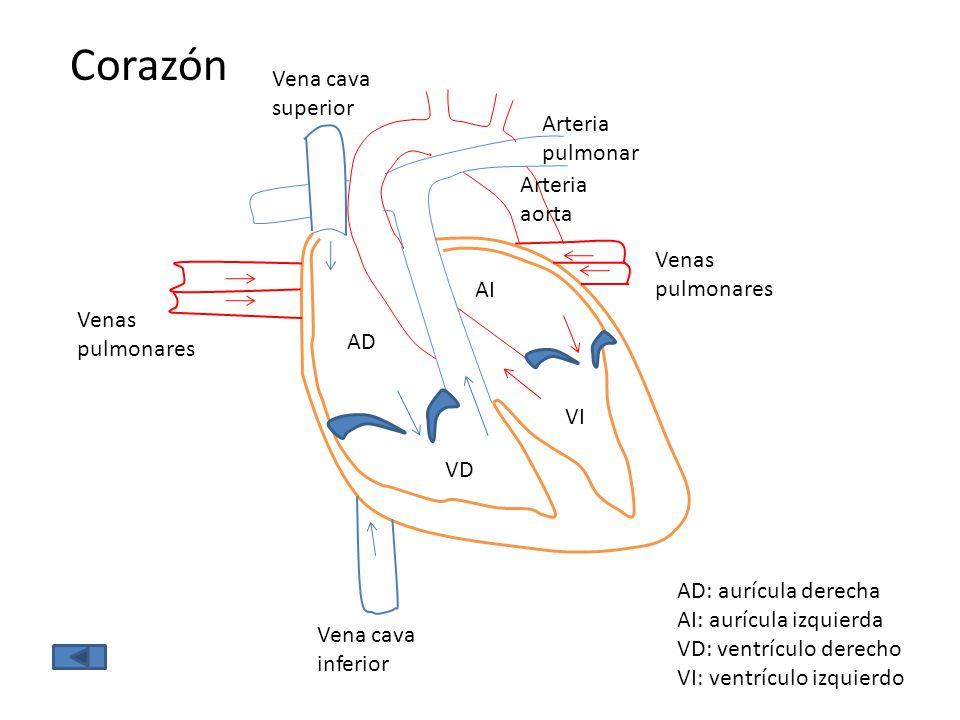 Corazón Vena cava superior Arteria pulmonar Arteria aorta