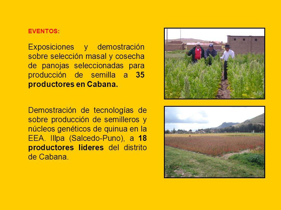 EVENTOS: Exposiciones y demostración sobre selección masal y cosecha de panojas seleccionadas para producción de semilla a 35 productores en Cabana.