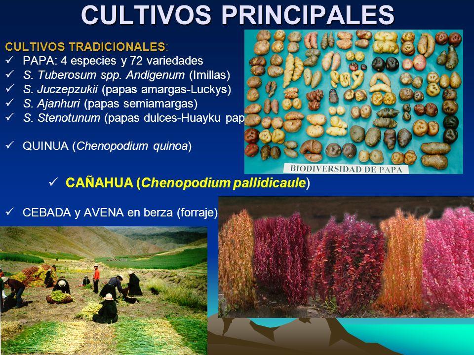 CULTIVOS PRINCIPALES CAÑAHUA (Chenopodium pallidicaule)
