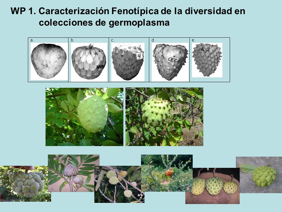 WP 1. Caracterización Fenotípica de la diversidad en