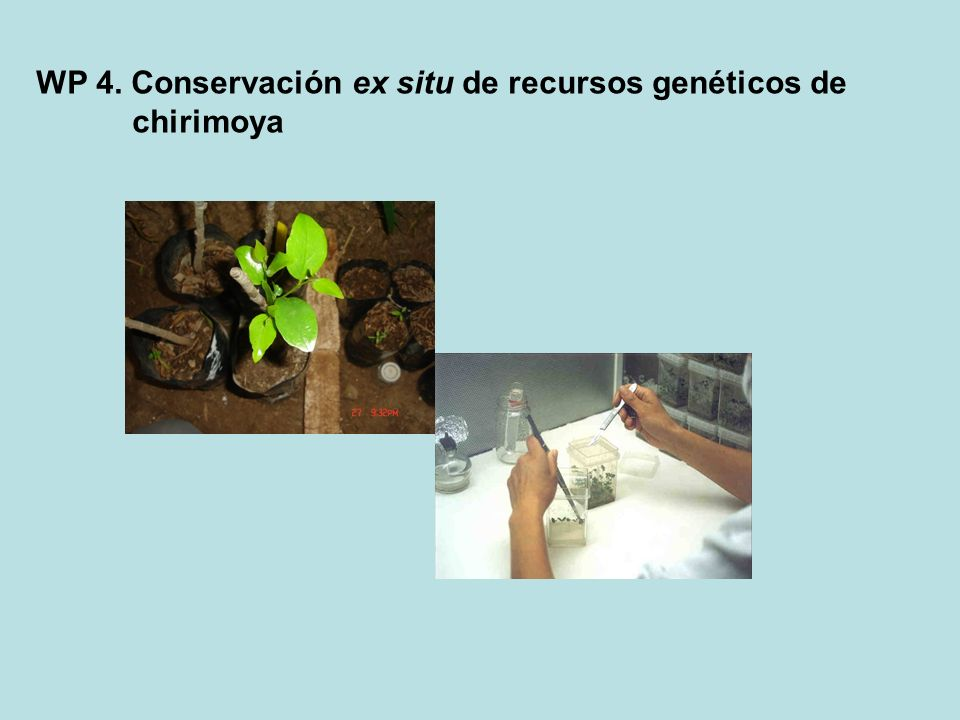 WP 4. Conservación ex situ de recursos genéticos de chirimoya