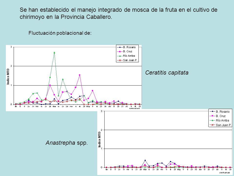 Se han establecido el manejo integrado de mosca de la fruta en el cultivo de chirimoyo en la Provincia Caballero.