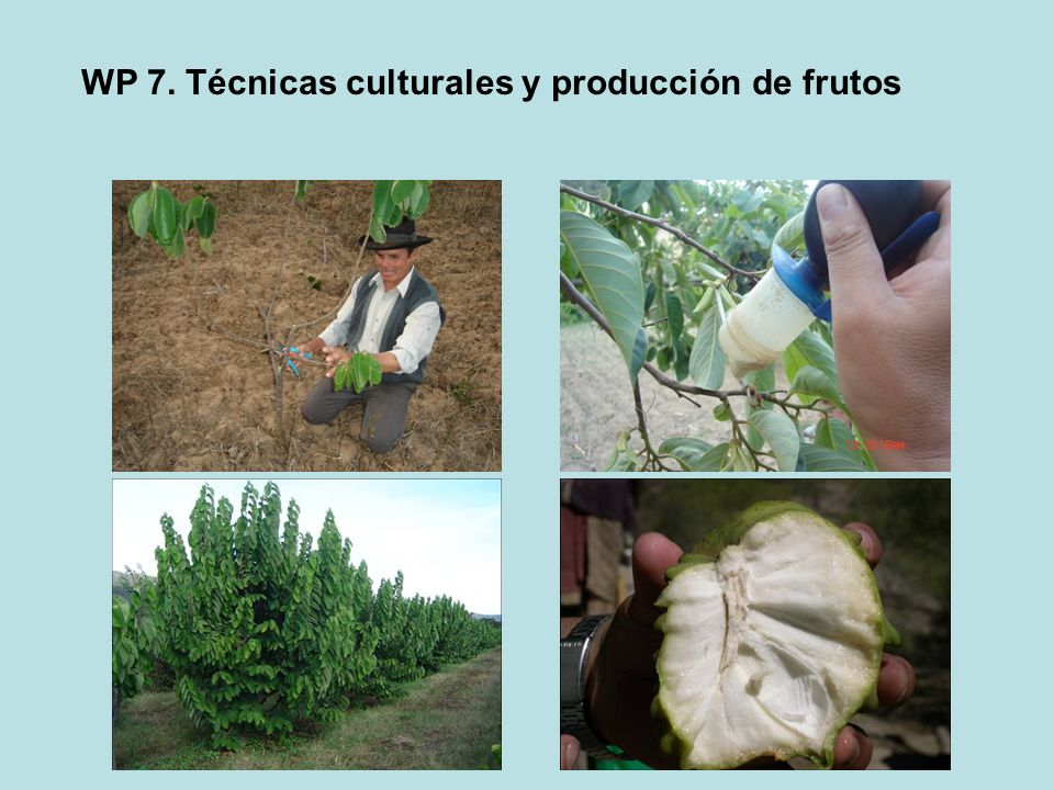 WP 7. Técnicas culturales y producción de frutos