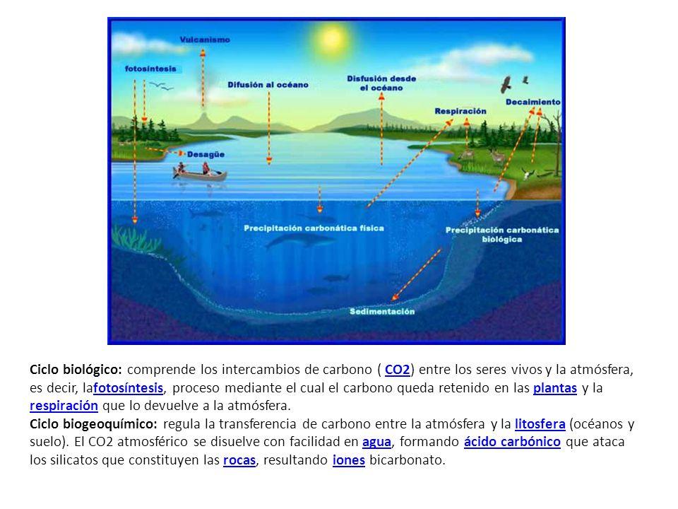 Ciclo biológico: comprende los intercambios de carbono ( CO2) entre los seres vivos y la atmósfera, es decir, lafotosíntesis, proceso mediante el cual el carbono queda retenido en las plantas y la respiración que lo devuelve a la atmósfera.