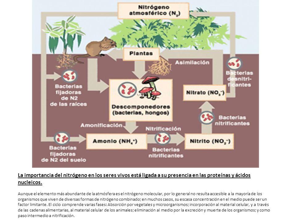 La importancia del nitrógeno en los seres vivos está ligada a su presencia en las proteínas y ácidos nucleicos.