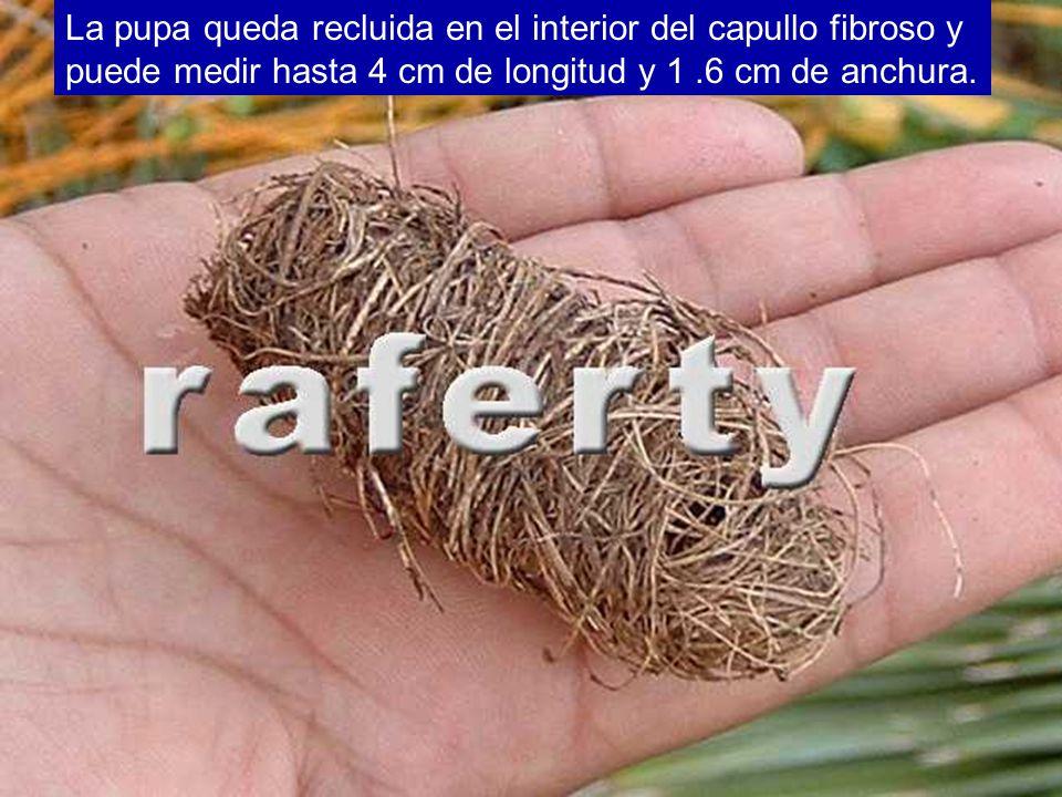 La pupa queda recluida en el interior del capullo fibroso y puede medir hasta 4 cm de longitud y 1 .6 cm de anchura.