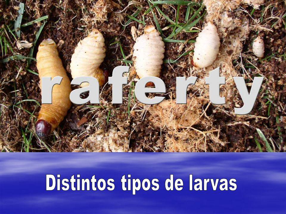 Distintos tipos de larvas