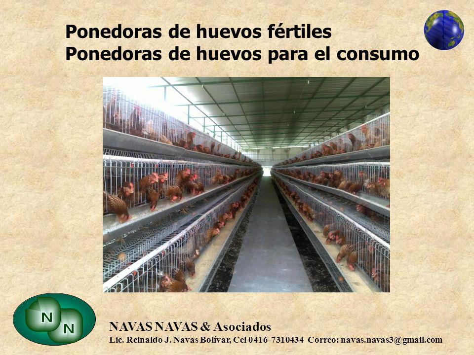 Ponedoras de huevos fértiles Ponedoras de huevos para el consumo
