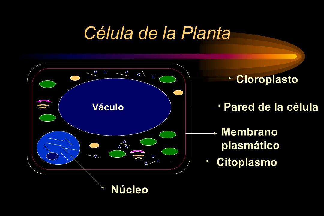 Célula de la Planta Cloroplasto Pared de la célula Membrano plasmático