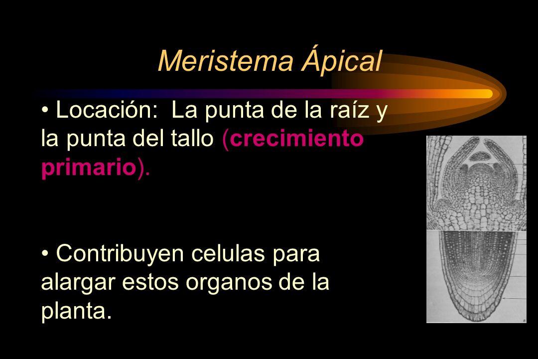 Meristema Ápical Locación: La punta de la raíz y la punta del tallo (crecimiento primario).