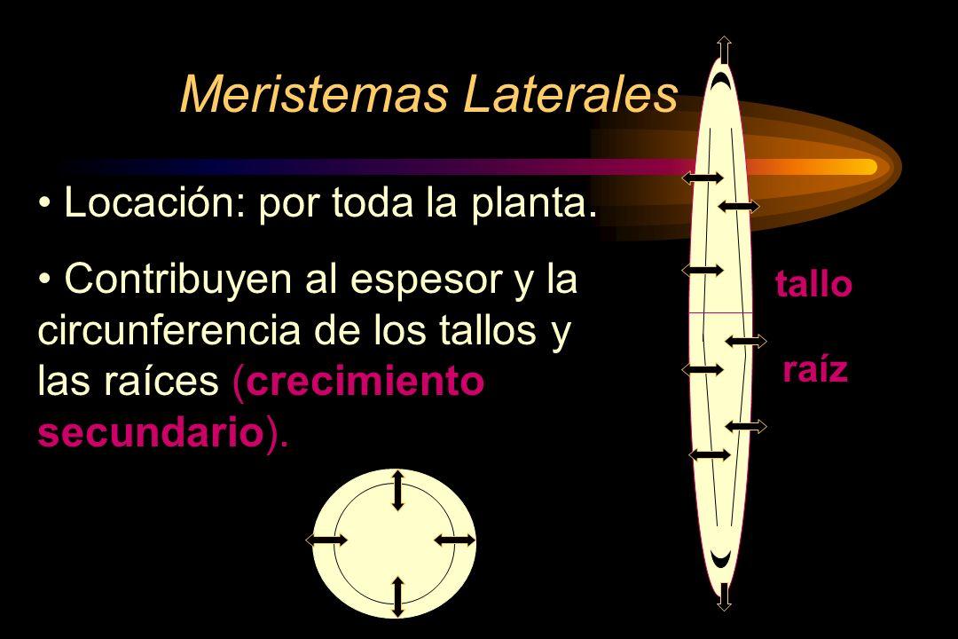 Meristemas Laterales Locación: por toda la planta.