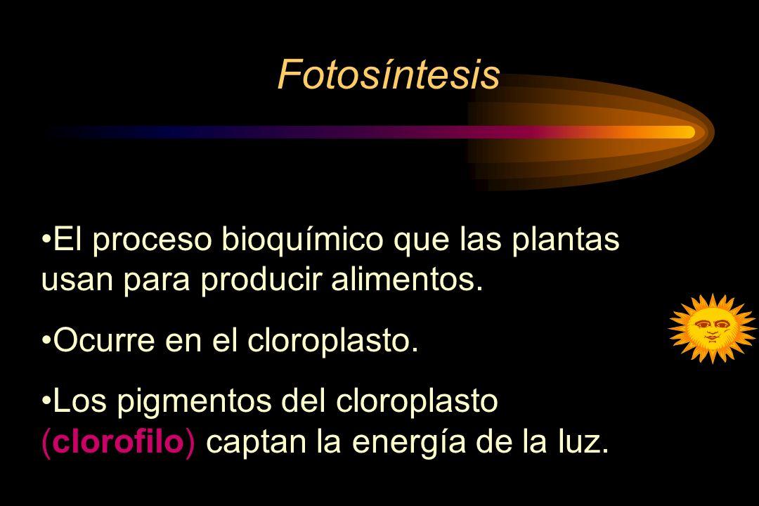 Fotosíntesis El proceso bioquímico que las plantas usan para producir alimentos. Ocurre en el cloroplasto.